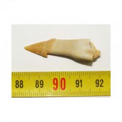 Dent  Fossile de requin Onchopristis numidus  (001)