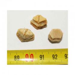 lot de 3 dents de Rhombodus binkhorsti ( 004