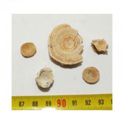 lot de 5 vertebres fossiles de poissons du Maroc ( 008 )