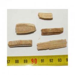lot de 5 palais dentaire fossiles de raies du Maroc ( 012)