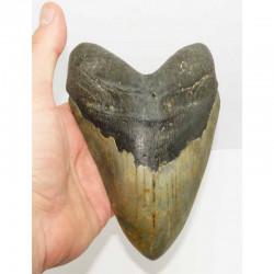 dent de requin Carcharodon megalodon ( 17.3 cms - LA 4 )