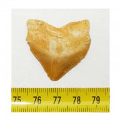 dent de requin Squalicorax Pristodontus ( 3.4 cms - 003 )