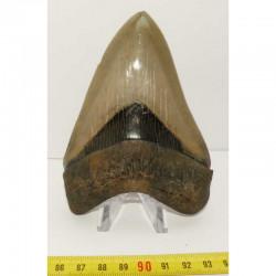 dent de requin Carcharodon megalodon (11.2 cms - 283 )