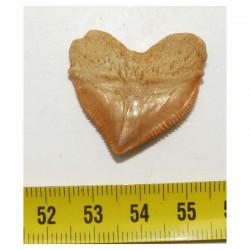 dent de requin Squalicorax Pristodontus ( 2.9 cms - 012 )
