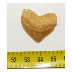 dent de requin Squalicorax Pristodontus ( 2.9 cms - 017 )