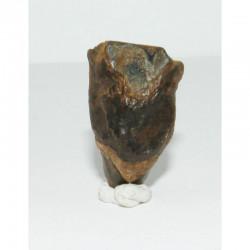 dent de Triceratops  ( dinosaure  - 005 )