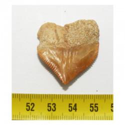 dent de requin Squalicorax Pristodontus ( 3.3 cms - 025 )