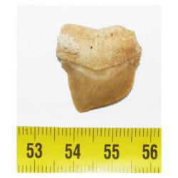 dent de requin Squalicorax kaupi ( 2.5 cms - 036 )