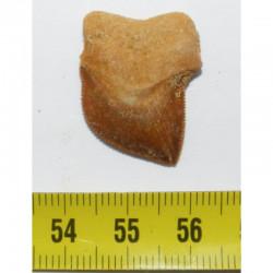 dent de requin Squalicorax kaupi ( 2.7 cms - 039 )