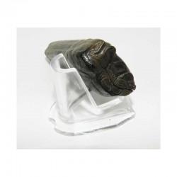 1 dent de cheval prehistorique ( 008 )