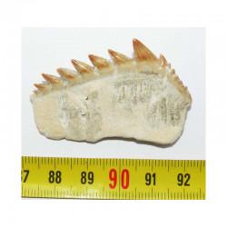 dent fossile de requin Notidanodon loozi ( Maroc - 002 )