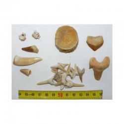 lot de fossiles du Maroc pour commencer sa collection ( 023 )