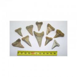 10 dents de requin Isurus hastalis ( 047 )