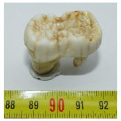 1 dent d Ursus spelaeus ( Rounanie - 006 )