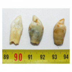 3 dents d Ursus spelaeus ( Rounanie - 032 )