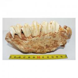 Fragment de machoire de Bos primigenius ( France - 002 )