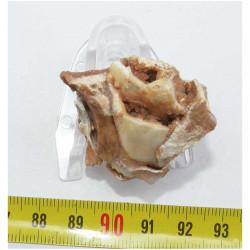 Fragment de machoire de Bos primigenius ( France - 001 )