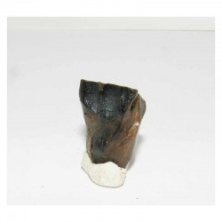dent de Triceratops  ( dinosaure  - 003 )