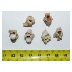 lot de 6 vertebres de Palaeophis maghrebianus ( 024 )